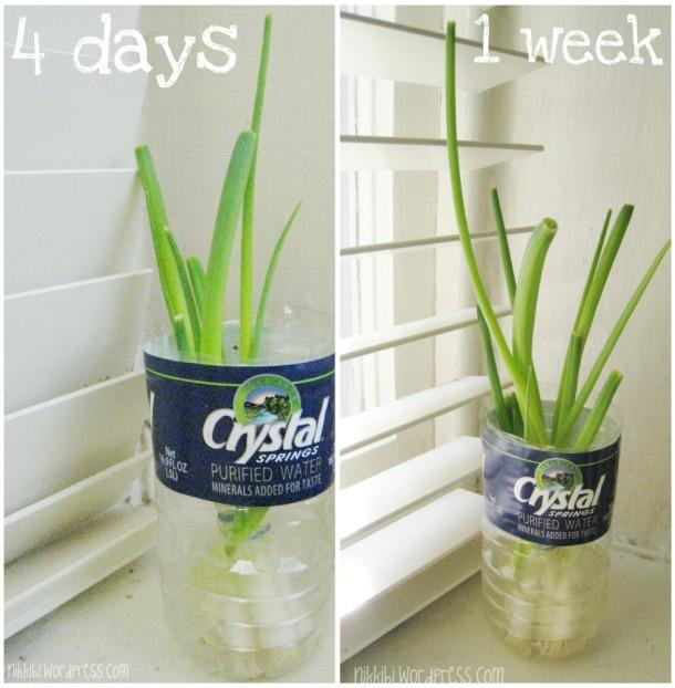 How to grow green onions indoors nikkibi for Indoor gardening onions